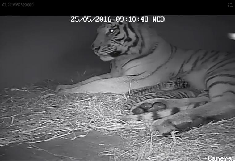 Tiger cubs video
